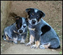Male and Female Australian Cattle dog (Blue heeler puppies).