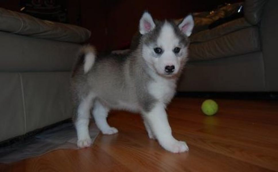 Companion Siberian Husky Puppies Available for adoption