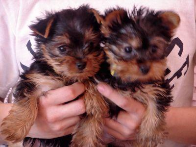Quality Teacup Yorkie Puppies For Adoption