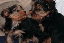 Yorkshire Terrier puppies available now.