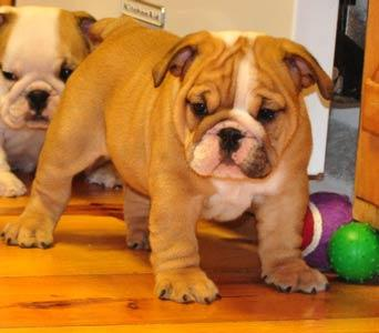 Registered English Bulldog Puppies For Sale