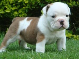 Lovely English bull puppies seeking new homes