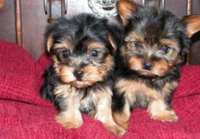 Adorable Teacup Yorkie Puppies For Free Adoption