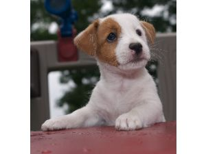 Nice Jack Russell Terrier puppies for sale