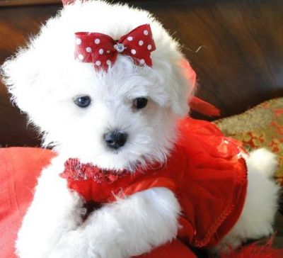 Sweet and Little Maltese puppies