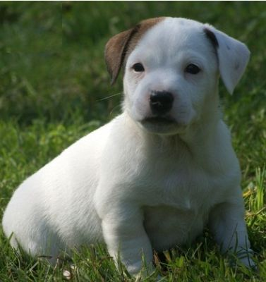 Jack Ruselle Puppies For Sale