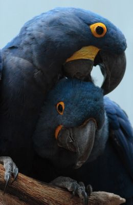 Free Pair Of Hyacinth Macaw Parrots For A Loving Home (totaly free )