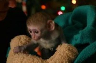 Cute Capuchin Monkeys For Free Adoption..