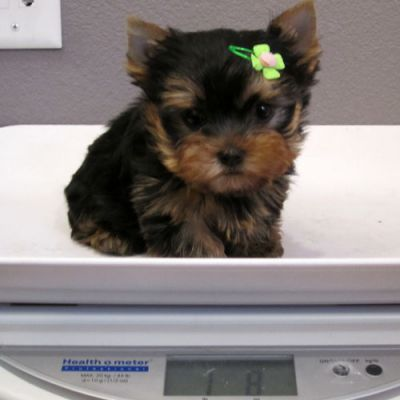 Healthy Yorkie Puppies for adoption.