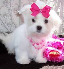Maltese puppies for adoption,