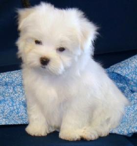 Cute Maltese Puppies Coming For Kids