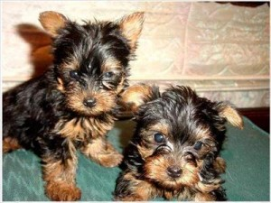 Outstanding AkC Reg Yorkie Puppies for sale..(louisa.corner@yahoo.com)