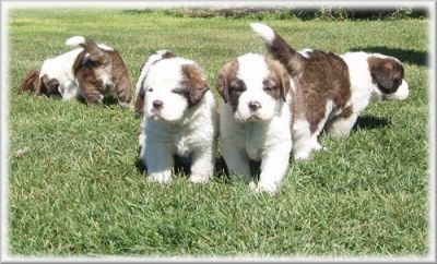 Saint Bernard, PUPPIES FOR FREE,READY