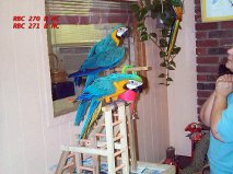 well socialized blue and gold macaw for a loving home