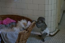 Inttelegent capuchin monkey for a good home