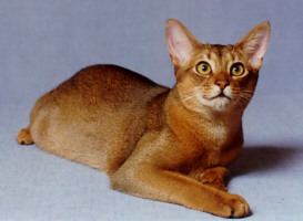 good looking abyssinian kittens for home