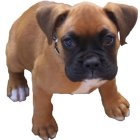 Adorable Supper Boxer-Puppy for sale