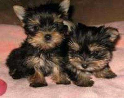 Yorkie Puppies ready for their new home.