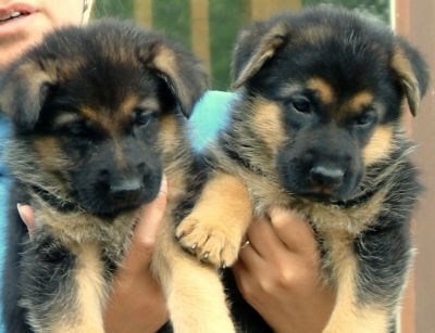 Cute Male and Female German Shepherd Puppies For Adoption
