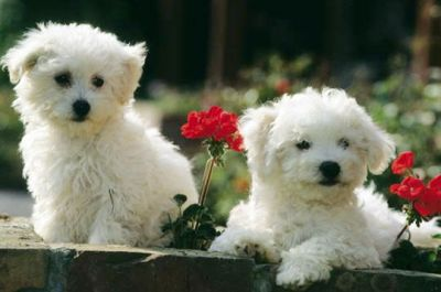 Adorable Maltese Puppies.