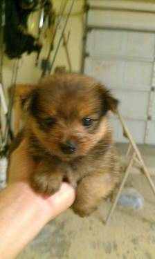 pomeranian puppies for sale