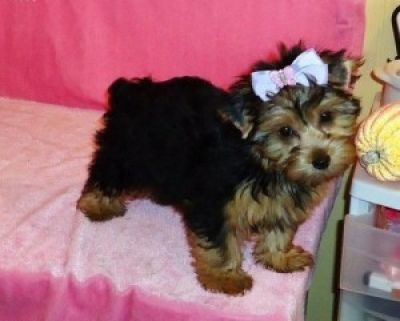 Healthy Top Quality Tea cup Yorkshire Terrier Puppies