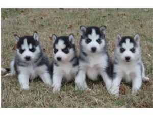 Beautiful, pure breed: Siberian husky puppies