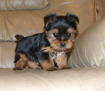 beautiful yorkies puppies ready to go for x_mas.