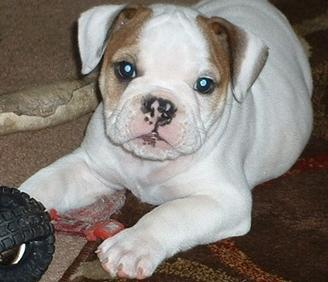 Gorgeous English bulldog pupps available now