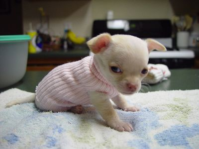 Adorable Chihuahua Puppies Available,