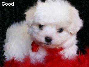 Toy maltese pups for adoption