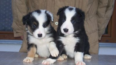 Well Trained  Border Collies Puppies