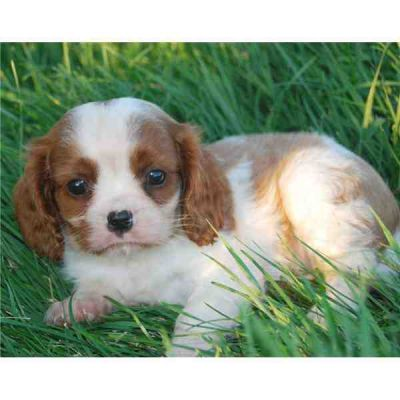 Cavalier King Charles Spaniel puppies available for good home
