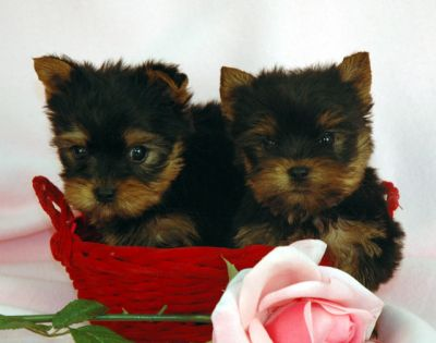 Two Cute Male and Female Teacup Yorkie Puppies