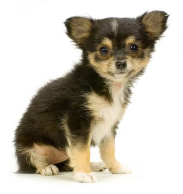 Long hair female chihuahua