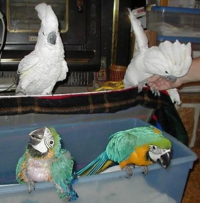 Selling Macaws,Cockatoos,Greys, and Amazons parrots